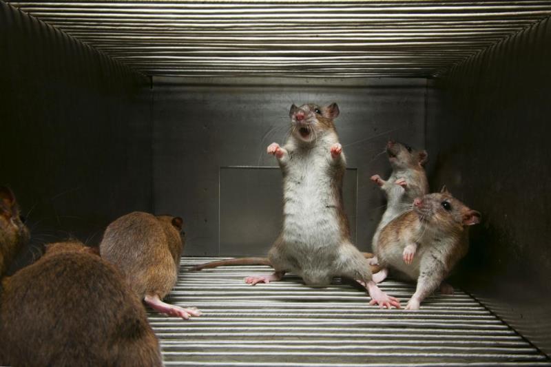 Отпугивание крыс