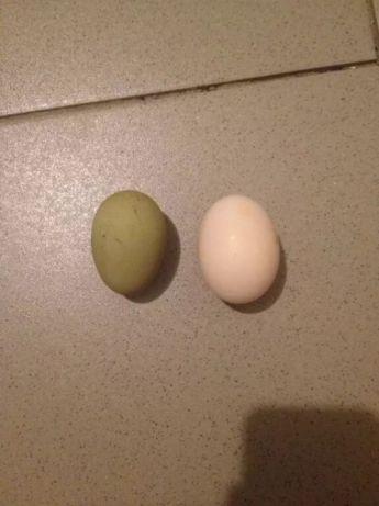 Яйца Китайских шелковых кур