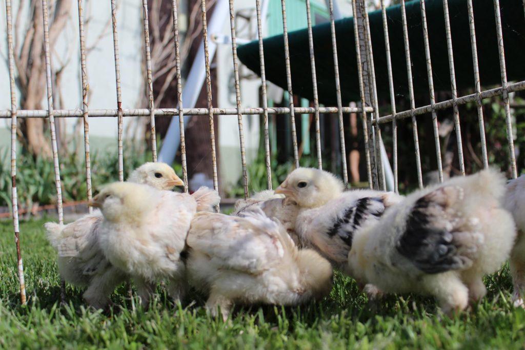 цыплята породы Фавероль