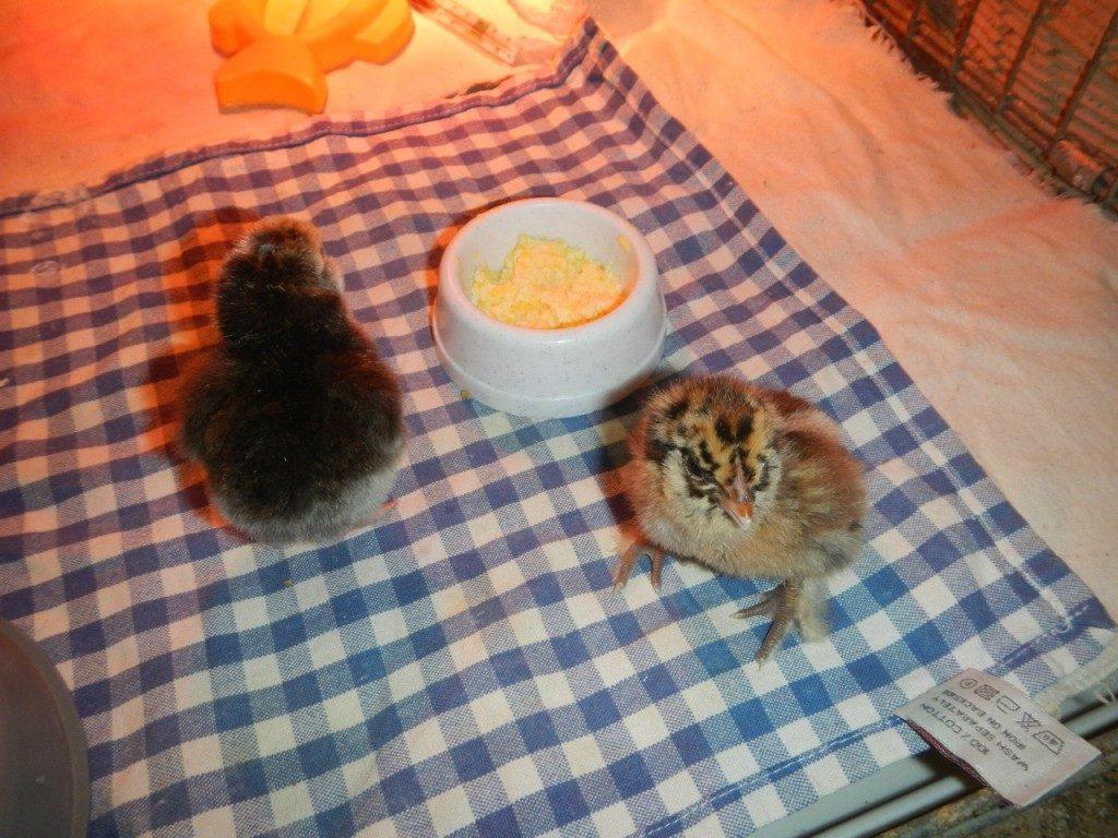 Яичная крошка для цыплят