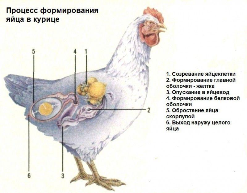 Формирование яйца