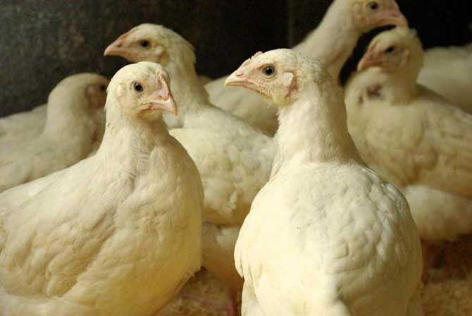 Созревание цыплят
