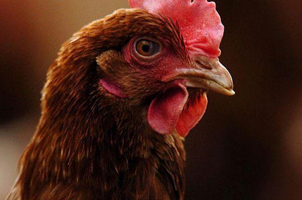 Гребешок здоровой курицы