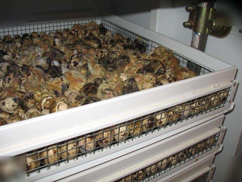 Вылупление птенцов в инкубаторе