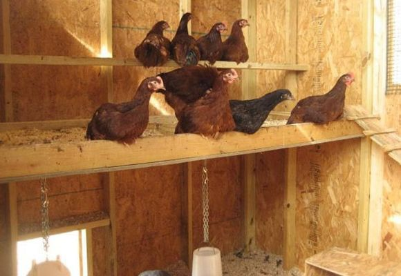 Курицы на верхнем насесте