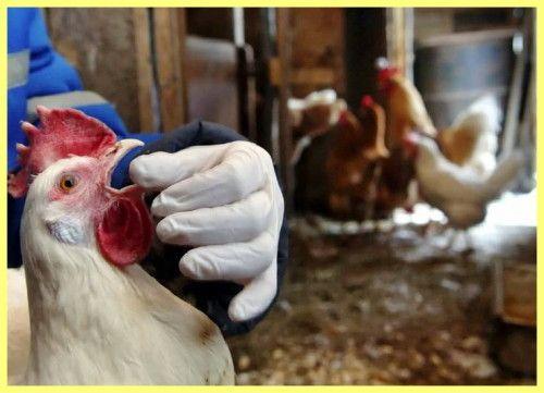 Если курица открывает клюв при дыхании, значит, она заболела