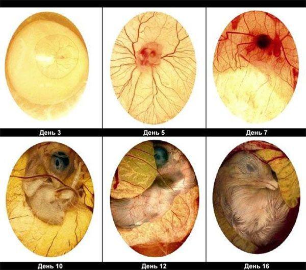 Развитие зародыша