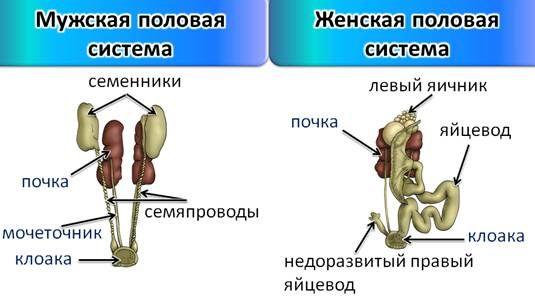Половая система самцов и самок