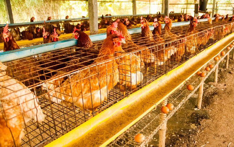 Куры на птицеферме