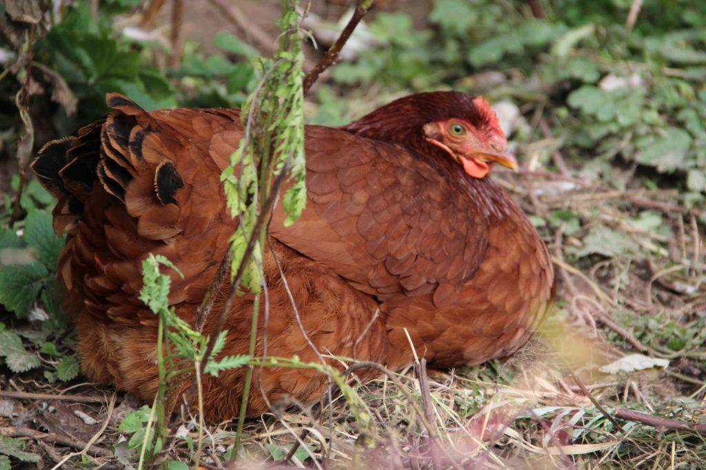 Слабая курица