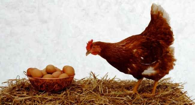 Свежие яйца несушки