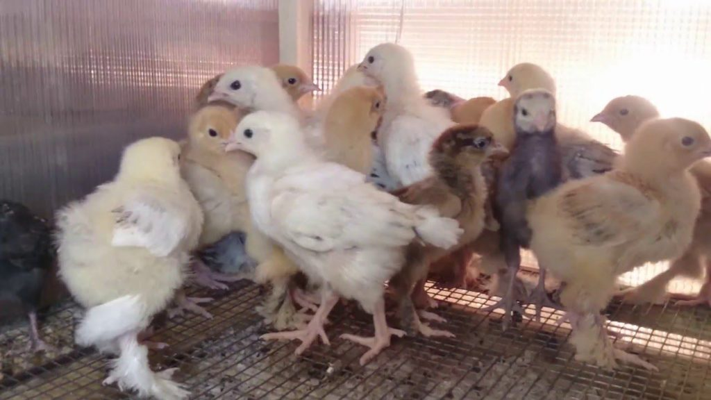 Вши у цыплят