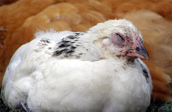 Вялая курица