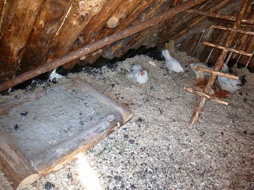 Зола в курятнике от крыс