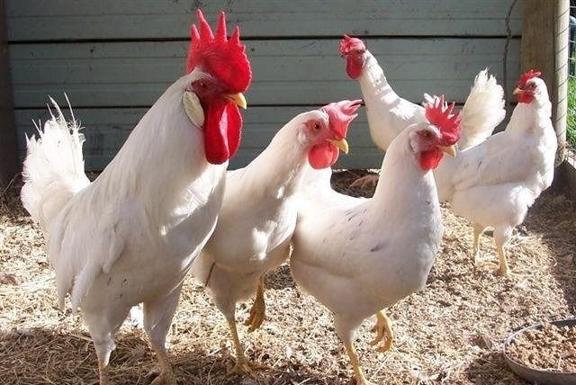 Хайсекс уайт цыплята