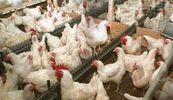 Бройлерные курицы