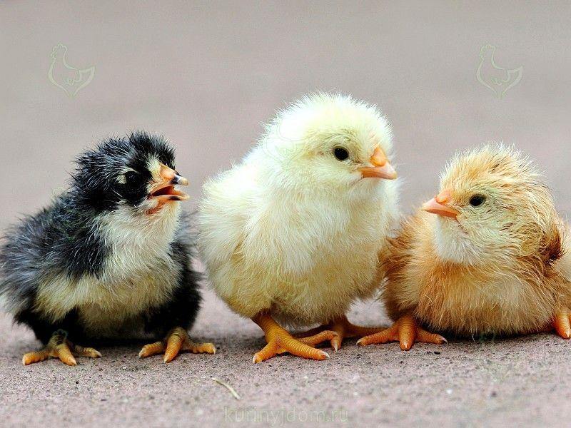 Цыплята-бройлер