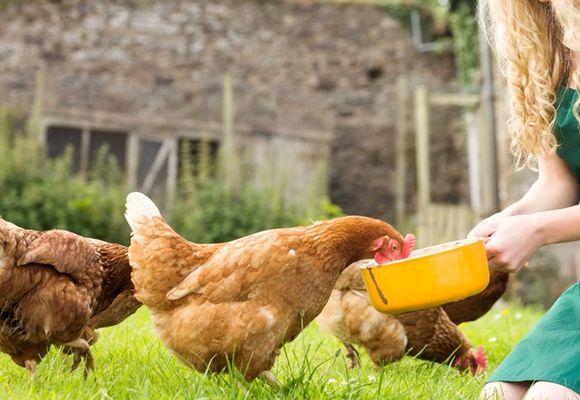 Курица ест комбикорм