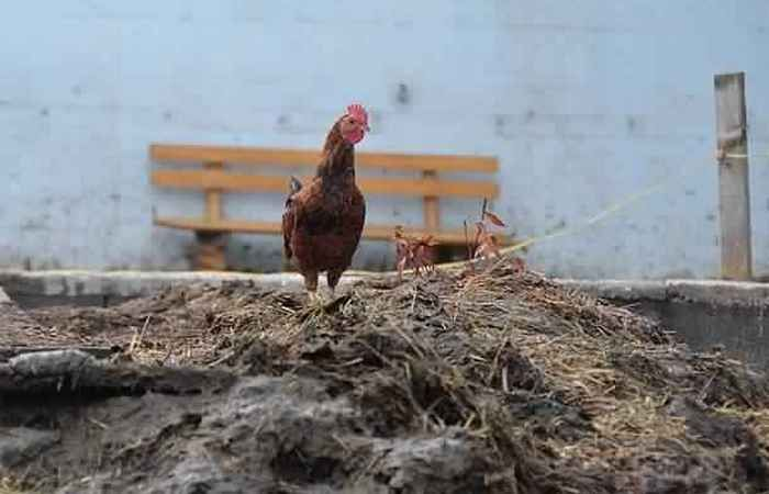 Навоз из куриного помета