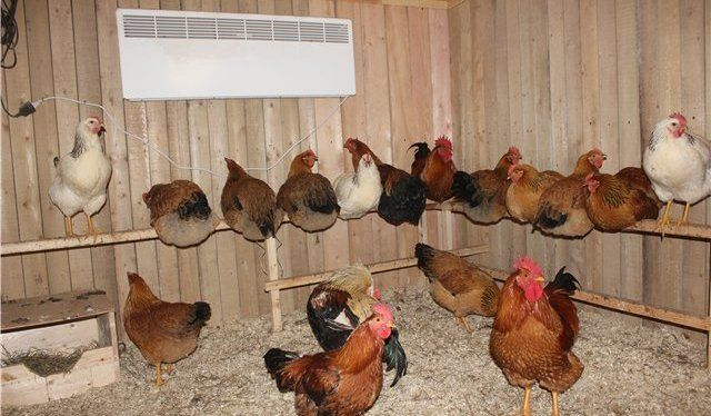 Курицы в теплом курятнике