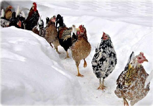 Куры гуляют по снегу