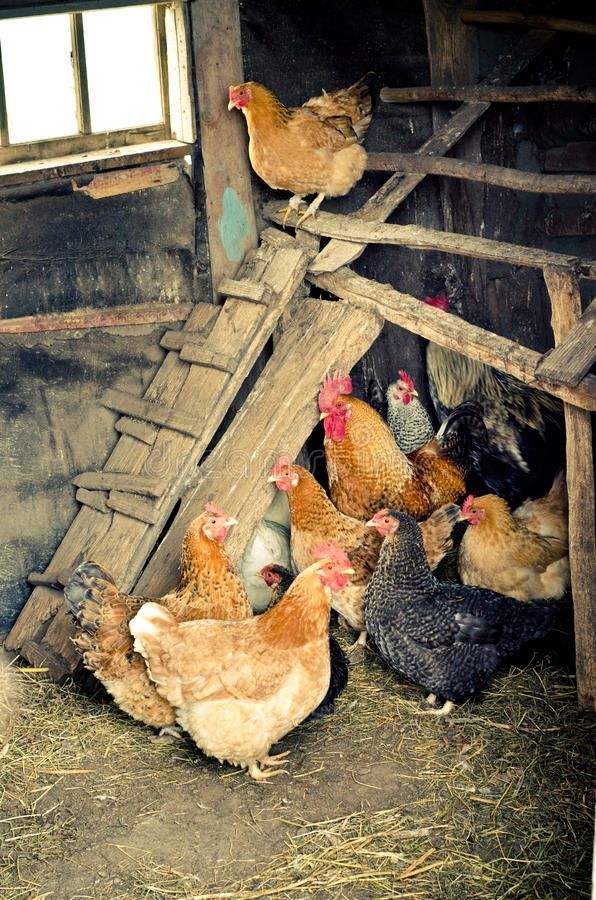 Удобный насест для кур