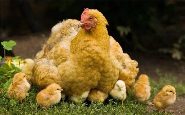Курицы с цыплятами