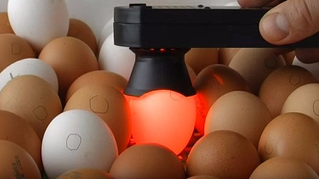 Проверка яиц на оплодовторённость