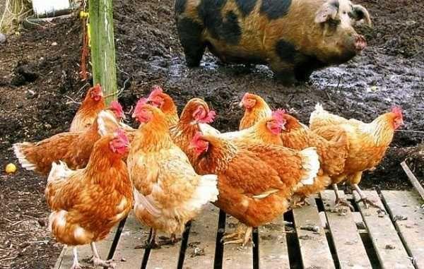 Помет у здоровых куриц