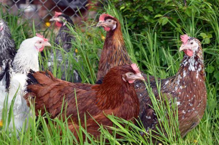 Курицы Доминант пасутся