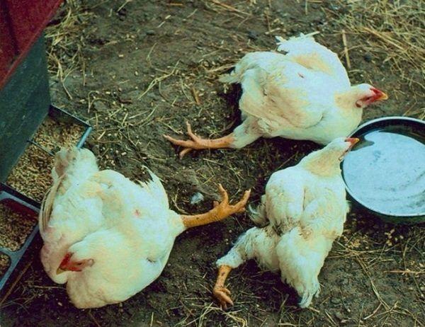 Курицы, страдающие от рахита