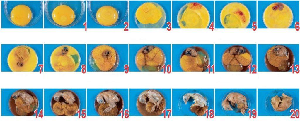 Процесс созревания эмбриона