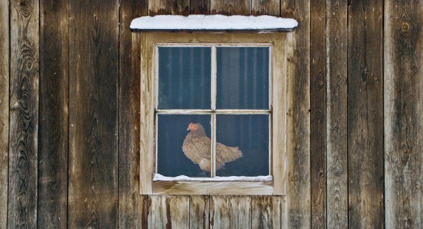 Курица в окне зимнего курятника