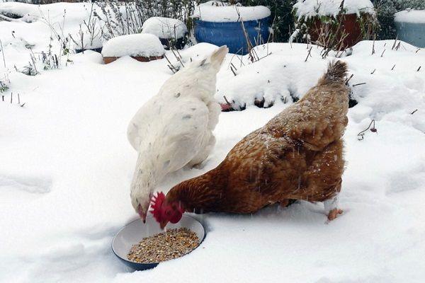 Питание несушек зимой