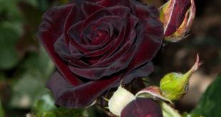Роза чайно-гибридная черный принц